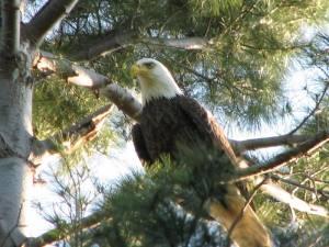 """""""Bold Eagle"""""""