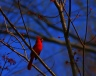 """Red Cardinal"" sitting on a tree branch"