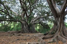 """""""Banyan Trees - Villa Trabia, Palermo, Sicily, Italy"""""""