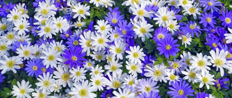 """Windflowers"""